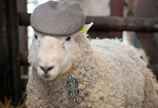 英国农场1只公羊1天令33只