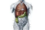人体正面解剖图